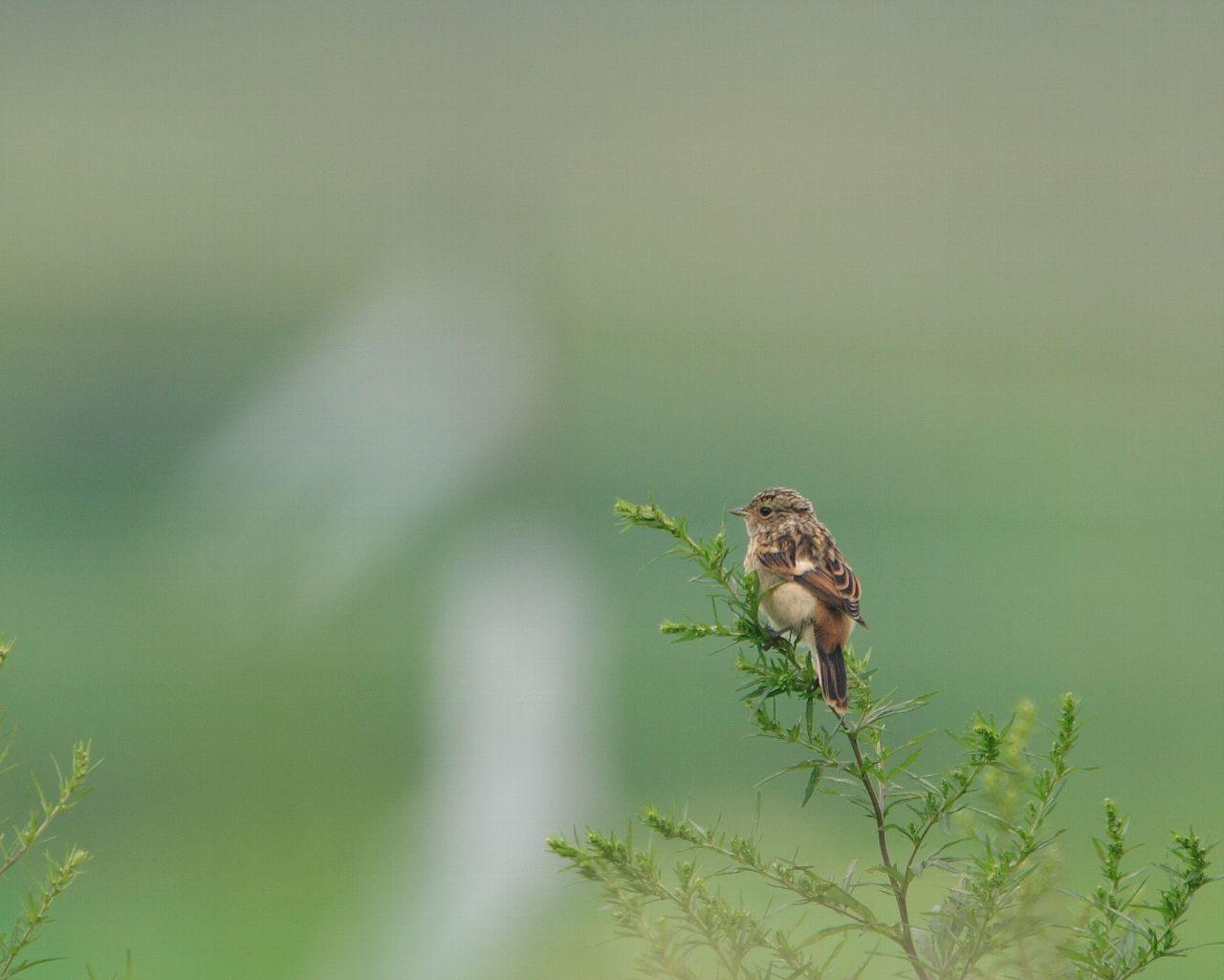ノビタキ若鳥(爽やかな草原の野鳥の壁紙)_f0105570_228454.jpg