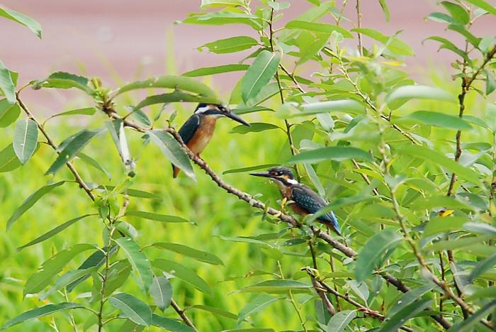 カワセミ幼鳥_f0053272_8104252.jpg