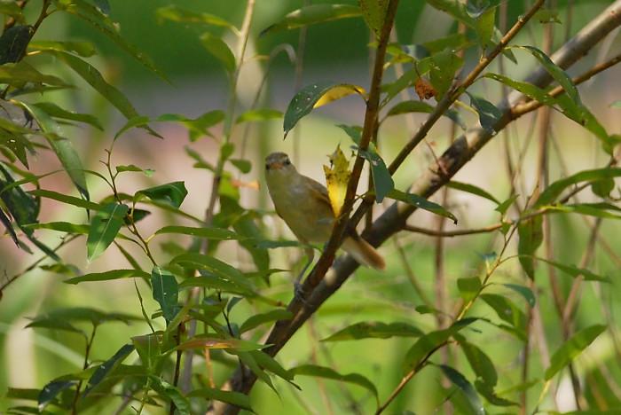 オオヨシキリ幼鳥_f0053272_14242331.jpg