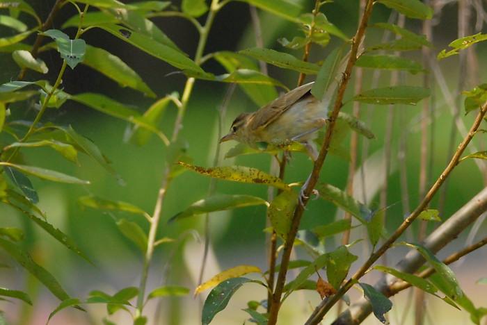 オオヨシキリ幼鳥_f0053272_14245315.jpg