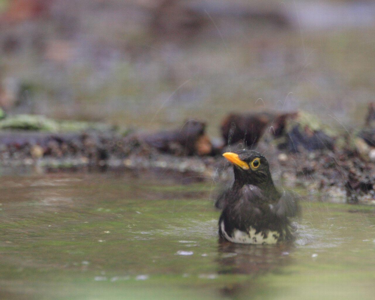 涼しげなクロツグミの水浴び(可愛い野鳥の壁紙)_f0105570_21313429.jpg