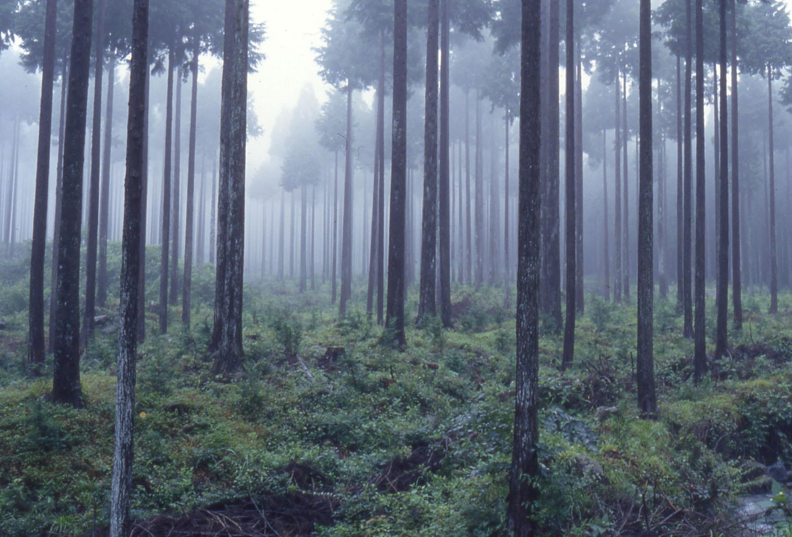 霧の杉林_b0093088_5221291.jpg