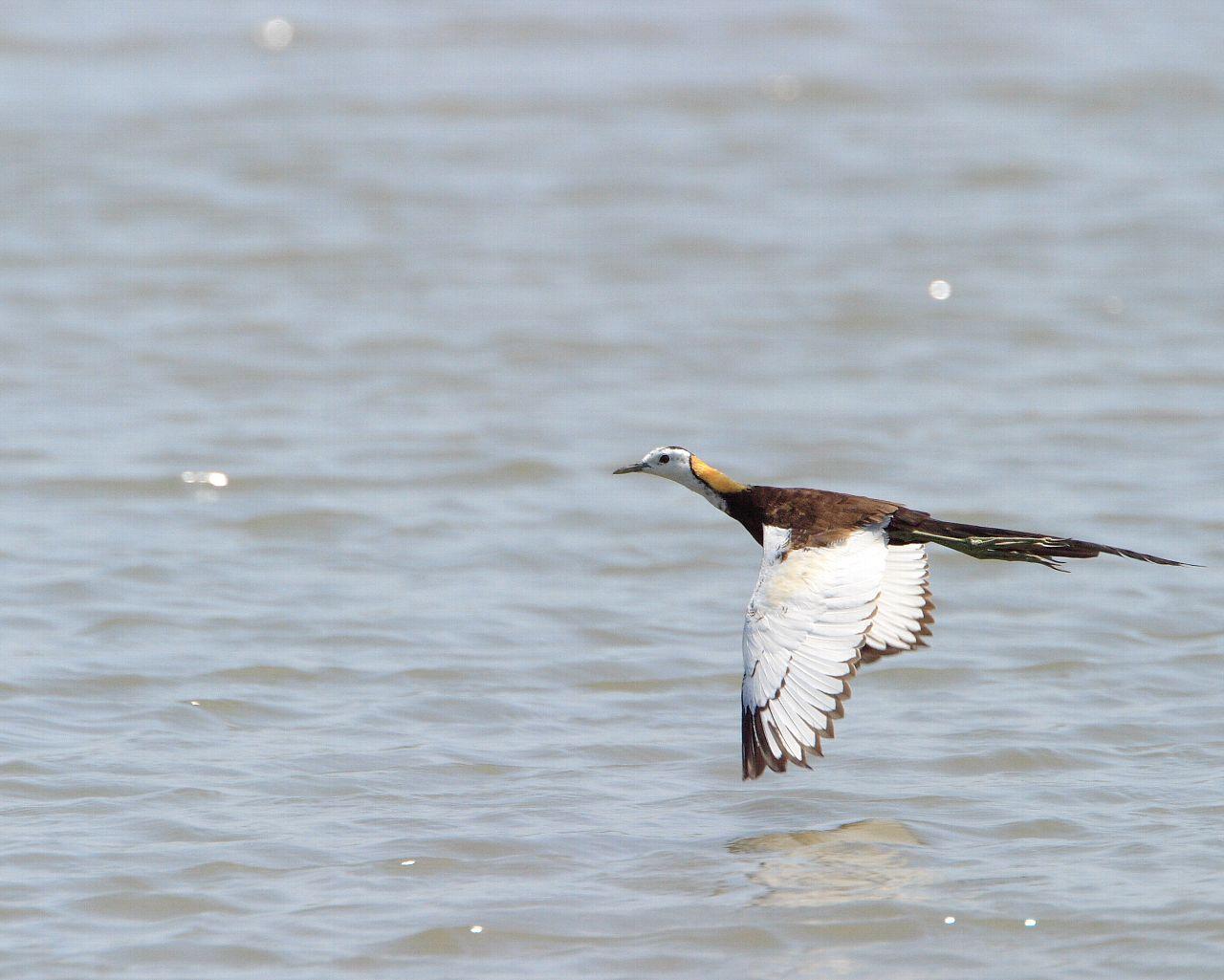 レンカクの飛翔(華麗な野鳥の飛翔写真の壁紙)_f0105570_223921.jpg
