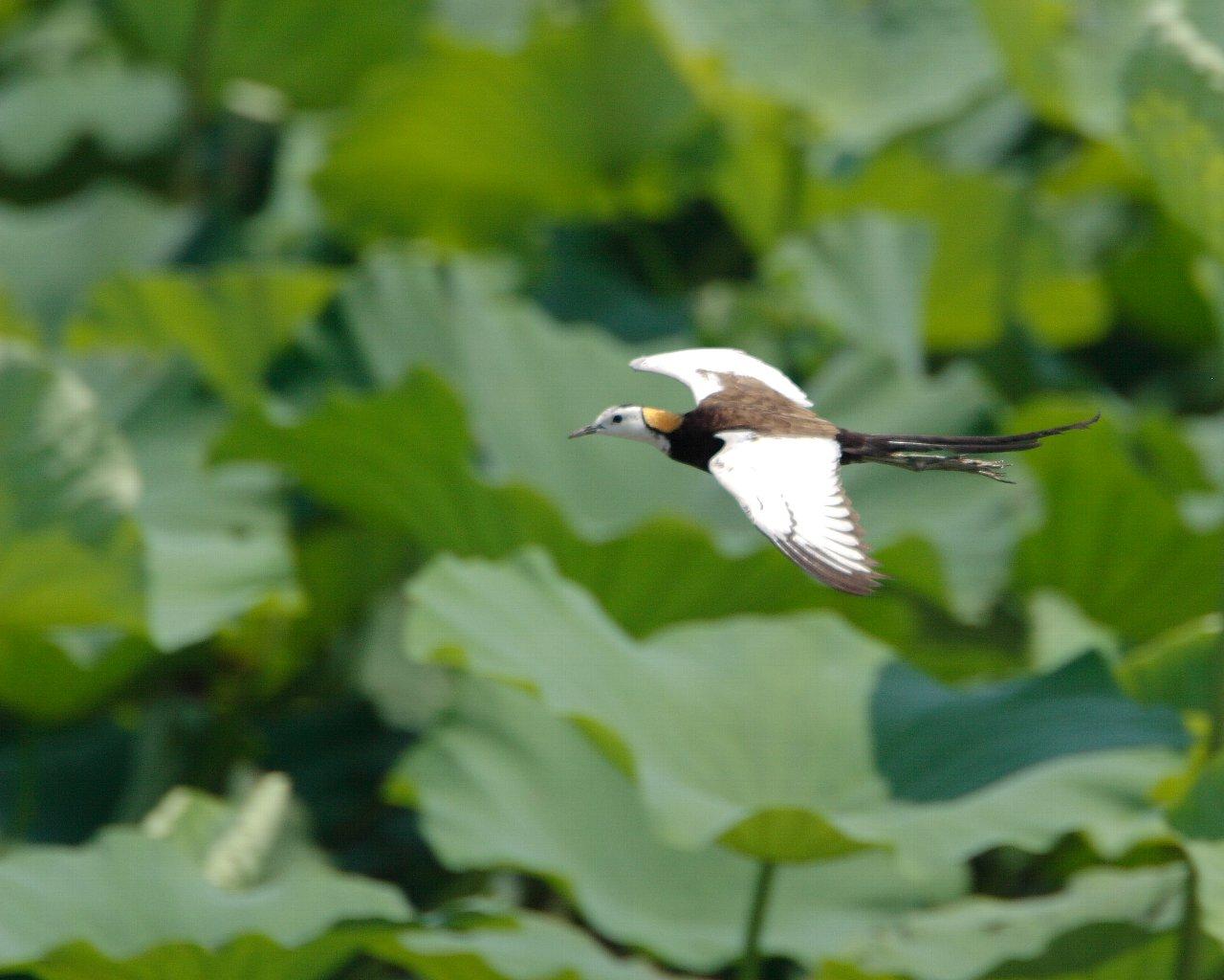 蓮の上を飛ぶレンカク(夏らしい野鳥の壁紙)_f0105570_21472030.jpg