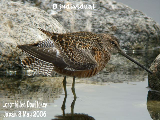 オオハシシギ 2 Long-billed Dowitcher_c0071489_833511.jpg