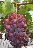 明日から、ベニバラード収穫です・・・まずは道の駅へ_d0026905_1125177.jpg