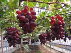 明日から、ベニバラード収穫です・・・まずは道の駅へ_d0026905_11264065.jpg