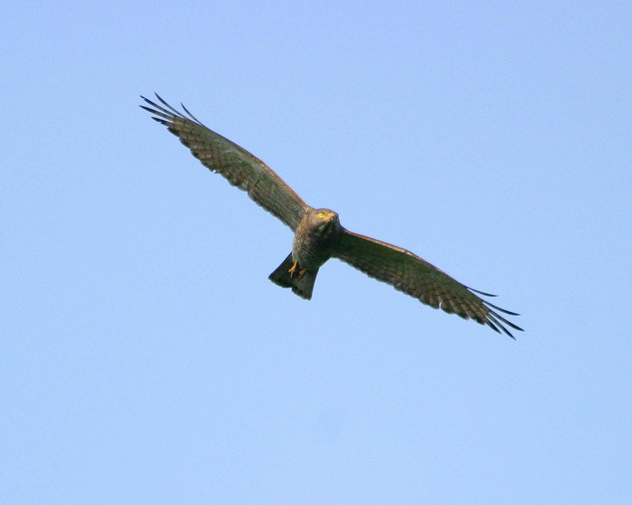サシバ正面顔飛翔(迫力ある猛禽の飛翔場面の壁紙)_f0105570_717340.jpg