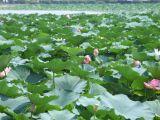 「草津市立水生植物公園 みずの森」の蓮料理_e0002086_9282619.jpg