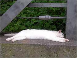 お昼寝中の白い猫1