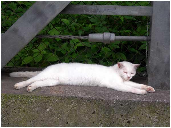 お昼寝中の白い猫2