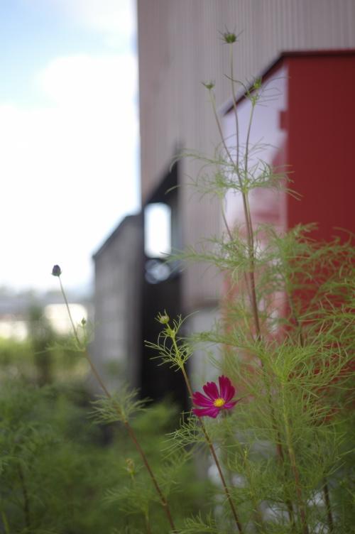 茅野・路傍の花シリーズ1_f0042194_0463482.jpg