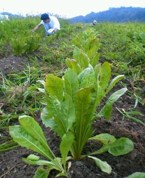 休耕地でチコリ作り 畑の雑草2_d0063218_10561063.jpg