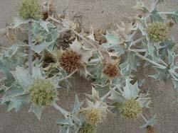 海の植物図鑑_f0106597_8424485.jpg