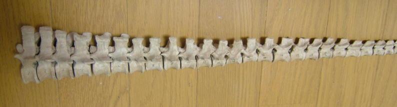 ティランノサウルス しっぽがバラバラ_e0064457_2334283.jpg