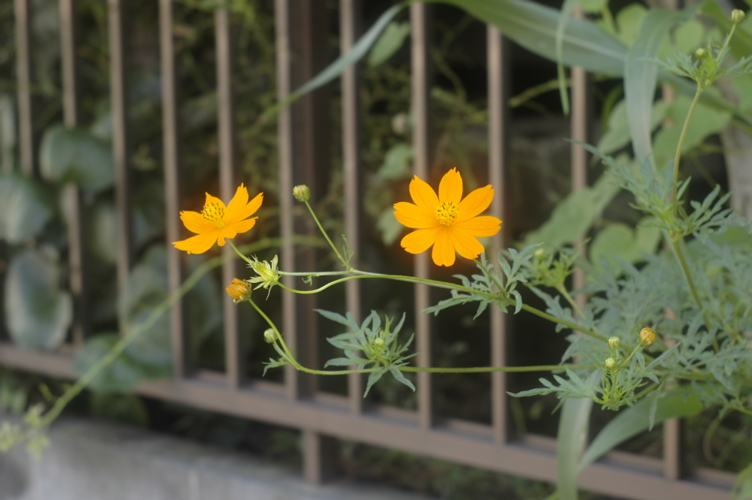 路傍の花々シリーズ(ただし初台)その2_f0042194_0533012.jpg