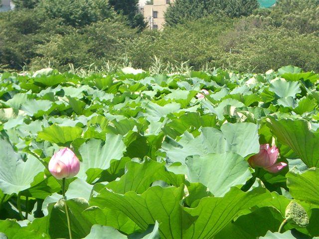 東京国立博物館から不忍池へ - 終わりの蓮の花を見に_a0057402_21382185.jpg