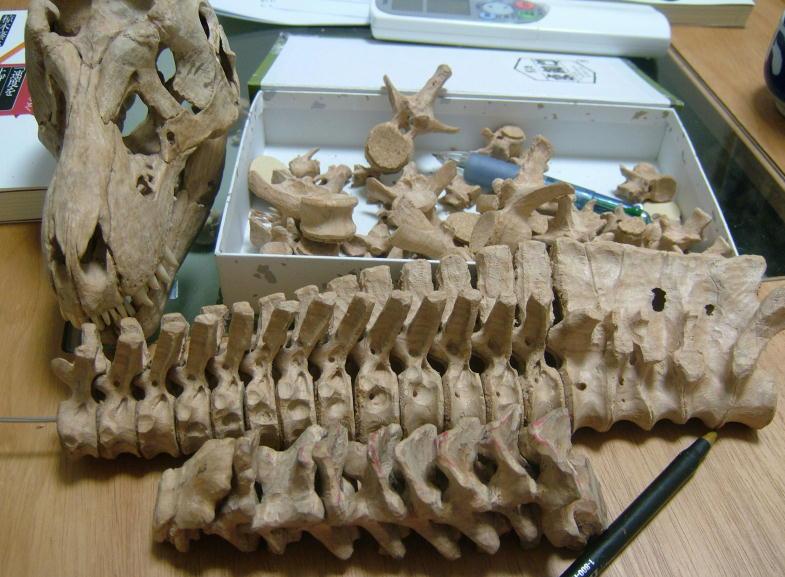 ティランノサウルス 胸腰椎・仙椎・尾椎_e0064457_2341323.jpg