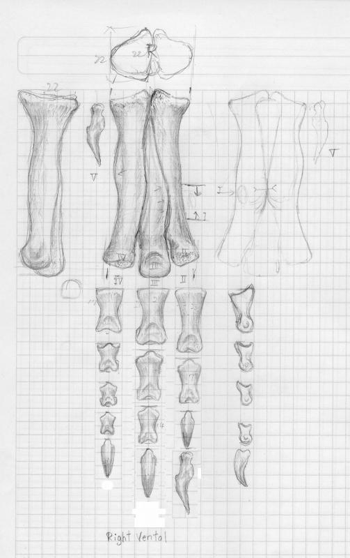 ティランノサウルス 足の指_e0064457_18212656.jpg