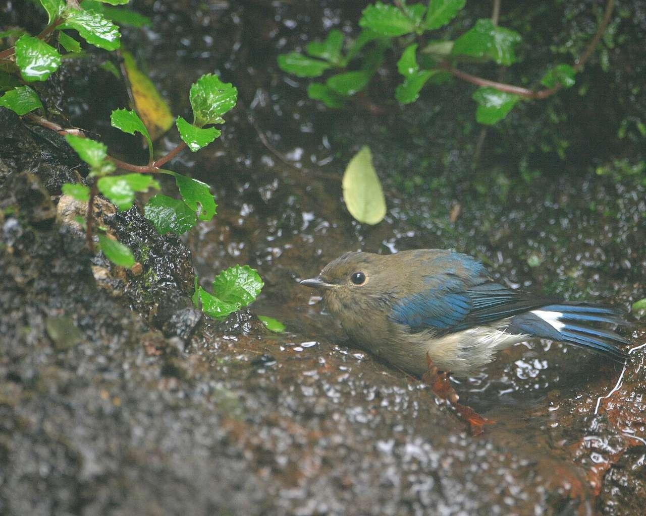 オオルリの若鳥(可愛い若鳥の野鳥の壁紙)_f0105570_21451212.jpg