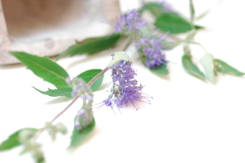 カリオプチリス 紫