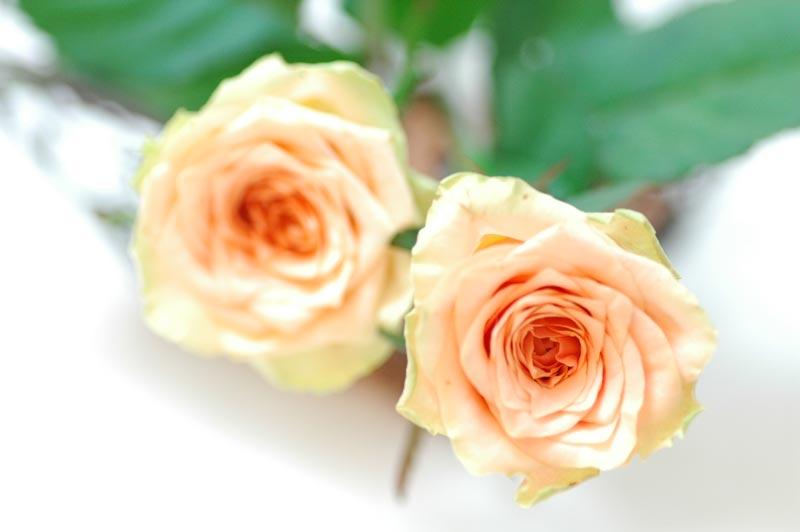 バラ ペパーミント 淡いピンク