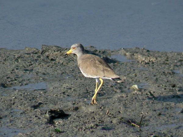 朝の干潟で餌を捕っている ケリ_e0088233_15289.jpg