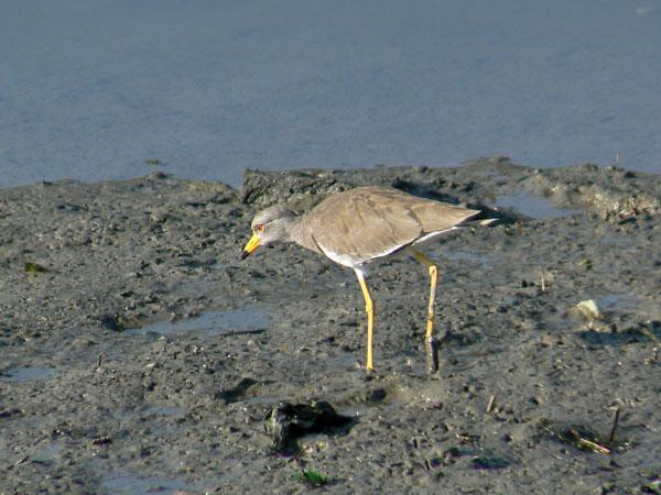 朝の干潟で餌を捕っている ケリ_e0088233_1553369.jpg
