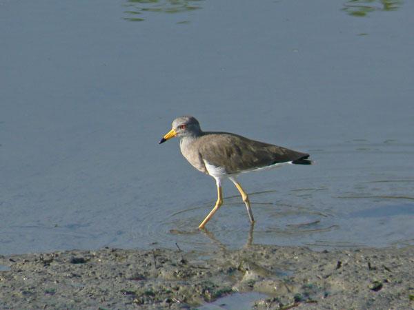 朝の干潟で餌を捕っている ケリ_e0088233_1555155.jpg