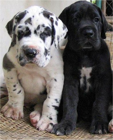 Image result for 犬 Great Dane 驚き