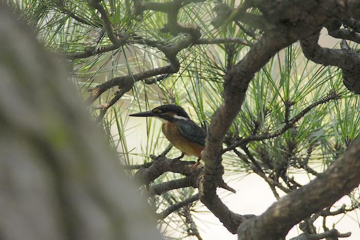 松の木の中のカワセミ(午前)_f0053272_19452280.jpg