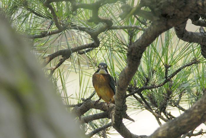 松の木の中のカワセミ(午前)_f0053272_19461584.jpg