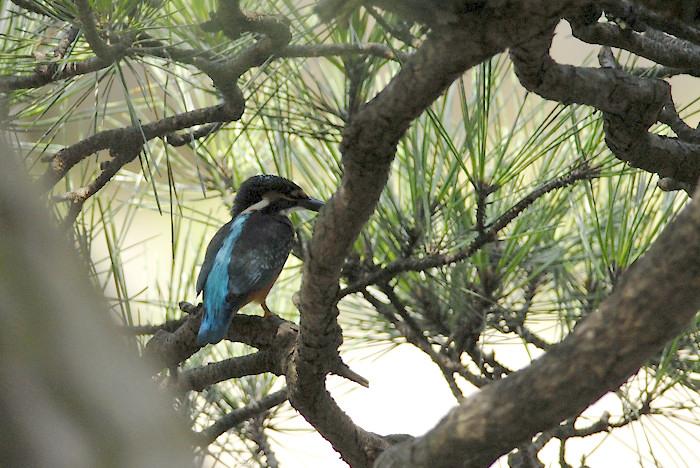 松の木の中のカワセミ(午前)_f0053272_19463367.jpg