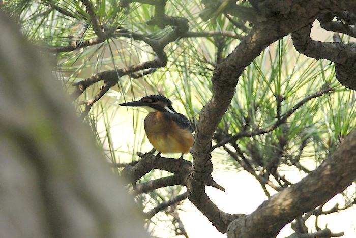 松の木の中のカワセミ(午前)_f0053272_19465281.jpg
