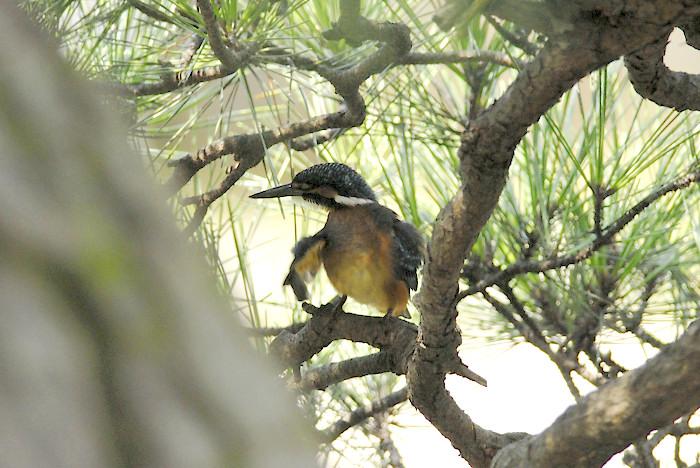 松の木の中のカワセミ(午前)_f0053272_19472679.jpg