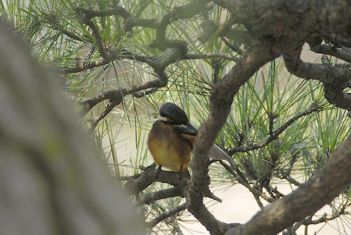 松の木の中のカワセミ(午前)_f0053272_1947771.jpg