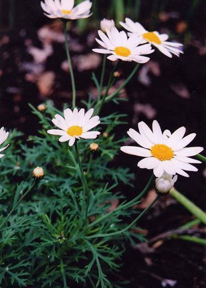 白い花とブルーベリー_b0089338_3552052.jpg