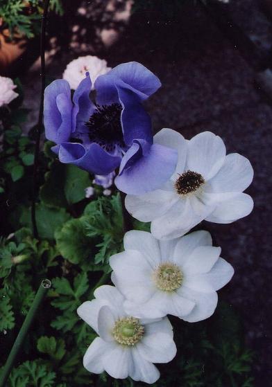白い花とブルーベリー_b0089338_355997.jpg