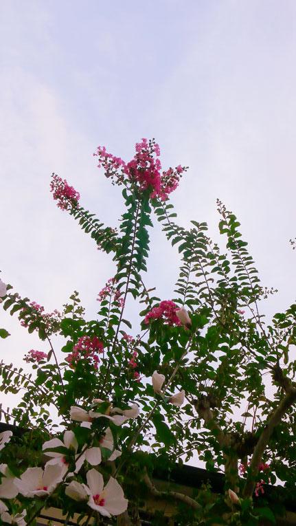 空高く さるすべり抜き 季節ゆく_a0031363_103752.jpg