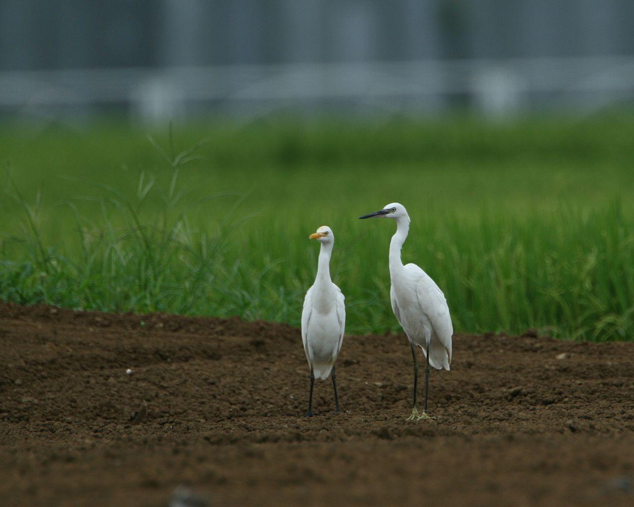 仲良しのコサギとアマサギ(田圃の野鳥の壁紙)_f0105570_944569.jpg