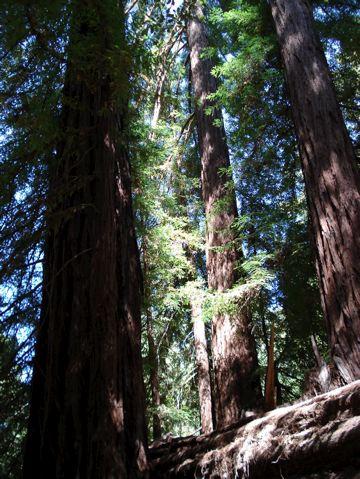 アメリカ杉の下で。 : Californi...