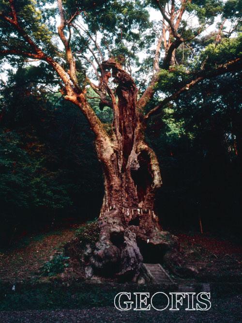巨樹巡礼_b0007284_1093229.jpg