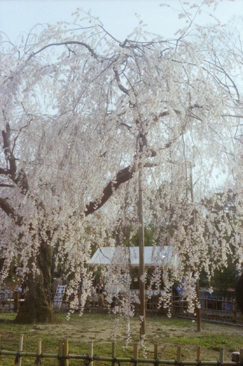 Sakura -Portrait by Tessar-_b0081177_0343276.jpg