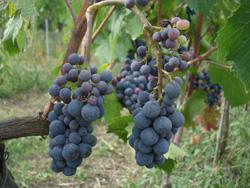 今年の葡萄は・・・_f0106597_1644185.jpg