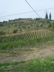 今年の葡萄は・・・_f0106597_16492258.jpg