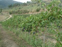 今年の葡萄は・・・_f0106597_16501318.jpg