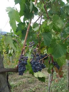 今年の葡萄は・・・_f0106597_16553831.jpg
