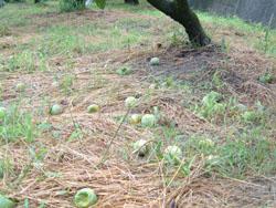 カメムシと戦い柿の実を守る。_f0018099_749472.jpg