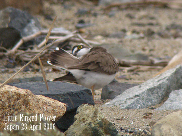 コチドリ   Little Ringed Plover_c0071489_0424826.jpg