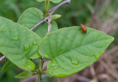 ウリハムシ(瓜羽虫) : 虫愛づ...